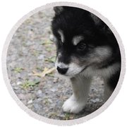 Concern On The Face Of An Alusky Puppy Round Beach Towel
