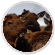 Cow Elk At Hardware Ranch Round Beach Towel