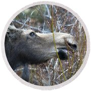 Cow Moose Dining On Willow Round Beach Towel