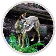 Coyote In Mid Stream Round Beach Towel