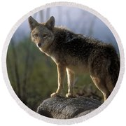 Coyote In Ocotillo Trees Round Beach Towel