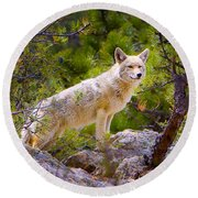 Coyote In The Rocky Mountain National Park Round Beach Towel