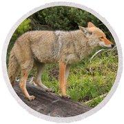 Coyote On A Log Closeup Round Beach Towel