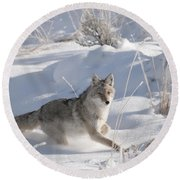 Coyote On The Move Round Beach Towel