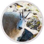 Curious Goat On The Mount Massive Summit Round Beach Towel