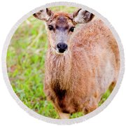 Curious Mule Deer Frolicking On A Colorado Spring Afternoon Round Beach Towel