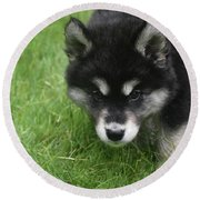Curiousity Filled Look In The Face Of An Alusky Round Beach Towel