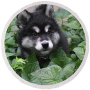 Cute Alusky Puppy In A Bunch Of Plant Foliage Round Beach Towel