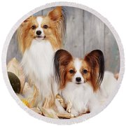 cute couple dogs breed papillon by Iuliia Malivanchuk  Round Beach Towel