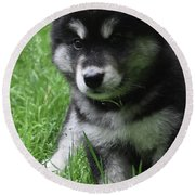Cute Fluffy Alusky Puppy Sitting Up In A Yard Round Beach Towel