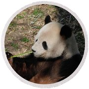 Cute Panda Bear Eating A Green Shoot Of Bamboo Round Beach Towel
