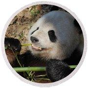Cute Panda Bear With Very Sharp Teeth Eating Bamboo Round Beach Towel