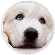 Cute White Puppy Dog Lying And Looking Up. Polish Tatra Sheepdog Round Beach Towel