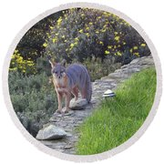 D-a0037 Gray Fox On Our Property Round Beach Towel