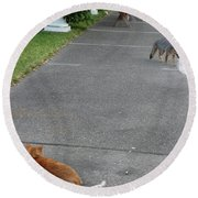D-a0050-dc Gray Fox And Our Cat On Our Pool Deck Round Beach Towel