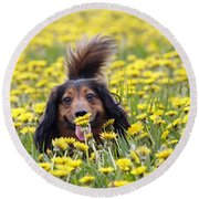 Dachshund On A Meadow In Bloom Round Beach Towel