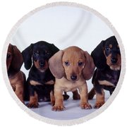 Dachshund Puppies  Round Beach Towel by Carolyn McKeone and Photo Researchers
