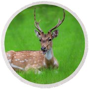 Deer Ruminating Round Beach Towel