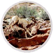 Desert Bighorn Ram Walking The Ledge Round Beach Towel