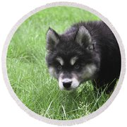 Dew Drops On The Nose Of An Alusky Puppy Dog Round Beach Towel