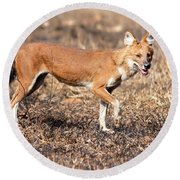 Dhole In The Wild Round Beach Towel