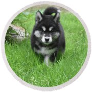 Dinstinctive Black And White Markings On An Alusky Pup Round Beach Towel