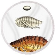 Dog Flea, Lifecycle, Illustration Round Beach Towel