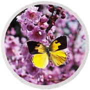 Dogface Butterfly In Plum Tree Round Beach Towel