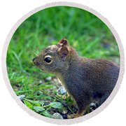Douglas Squirrel  Round Beach Towel