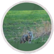 Eastern Coyote In Grass Round Beach Towel