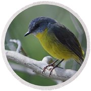Eastern Yellow Robin Round Beach Towel