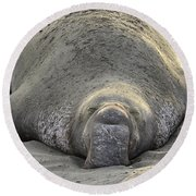 Elephant Seal 3 Round Beach Towel