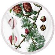European Larch, Pinus Larix Round Beach Towel