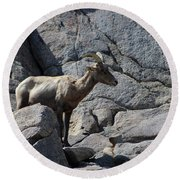 Ewe Bighorn Sheep Round Beach Towel