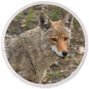 Face Of The American Coyote Round Beach Towel