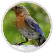 Female Bluebird Feeding Her Brood Round Beach Towel