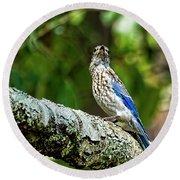 Female Eastern Bluebird Portrait Round Beach Towel