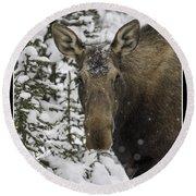 Female Moose In A Winter Wonderland Round Beach Towel