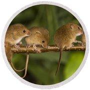 Five Eurasian Harvest Mice Round Beach Towel