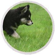 Fluffy Alusky Puppy Stalking In Green Grass Round Beach Towel