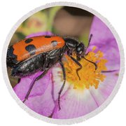 Four-spotted Blister Beetle - Mylabris Quadripunctata Round Beach Towel