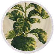 Frosted Thorn, Crataegus Prunifolia Variegata Round Beach Towel
