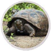 Galapagos Giant Tortoise Walking Down Gravel Path Round Beach Towel