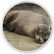 Galapagos Sea Lion Sleeps On Sandy Beach Round Beach Towel