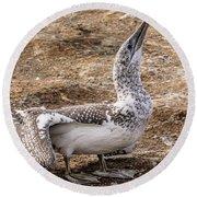 Gannet Chick 1 Round Beach Towel