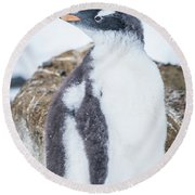 Gentoo Penguin With Turned Head On Snow Round Beach Towel