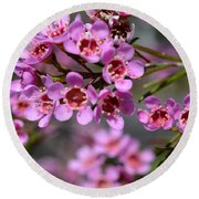 Geraldton Wax Flowers, Cwa Pink - Australian Native Flower Round Beach Towel