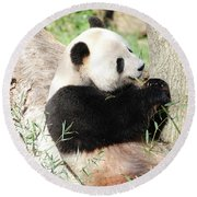 Giant Panda Bear Leaning Against A Tree Trunk Eating Bamboo Round Beach Towel
