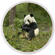 Giant Panda Eating Bamboo Round Beach Towel