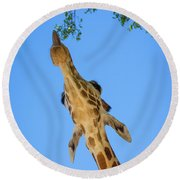 Giraffe Lunch Round Beach Towel